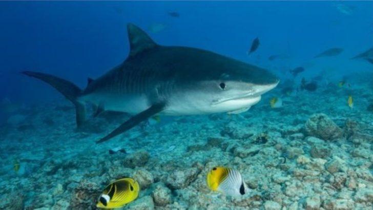 Hint Okyanusu'nda kayboldu! Eli ve alyansı köpekbalığının midesinde bulundu