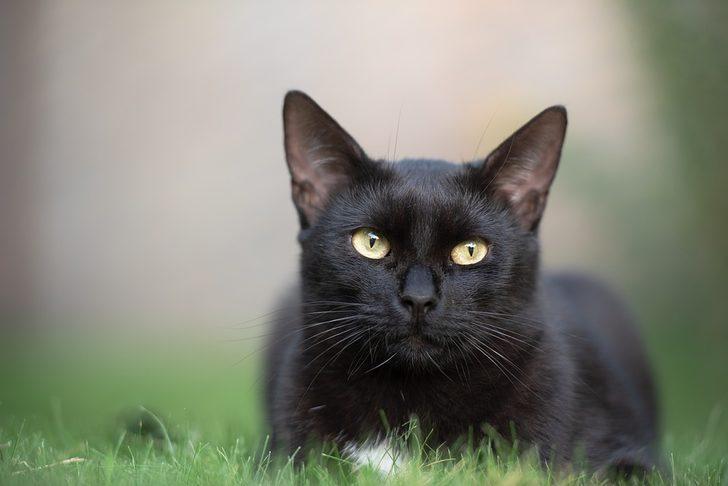 Kara kedilerin hakkında bilinmeyen 8 ilginç bilgi!