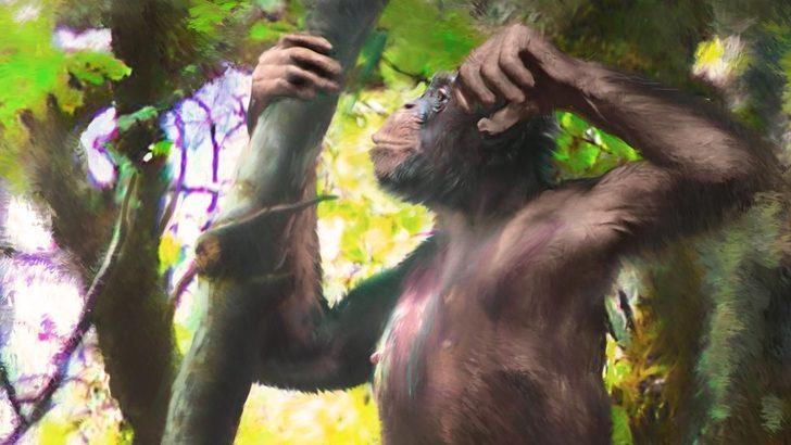 İki ayak üzerinde yürüyebilen en eski büyük insansı maymunun fosilleri bulundu