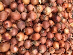 Soğanın kilosu 14 lirayı aştı, Başbakan Hasina'nın 'soğan yemeyin' açıklaması büyük tepkilere neden oldu