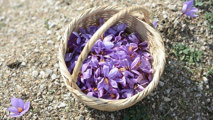 Milli bitki' safrandan '20 kilo' hasat