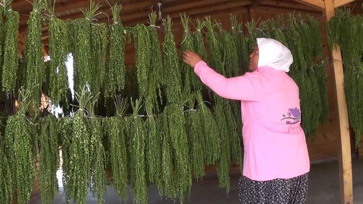 Moringa bitkisi ekonomiye 500 bin TL katkı sağladı