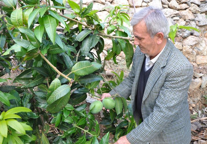 Altın yumurtlayan meyve! 12 mango ağacı 45 bin lira kazandırdı
