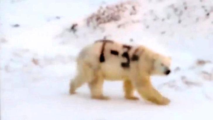 Rusya'da üzerine sprey boyayla T-34 yazılan kutup ayısının hayatından endişe ediliyor