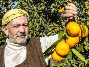 50 yıl önce Balıkesir'de hobi diye başlayan mandalina üretimi dev bir sektör oldu