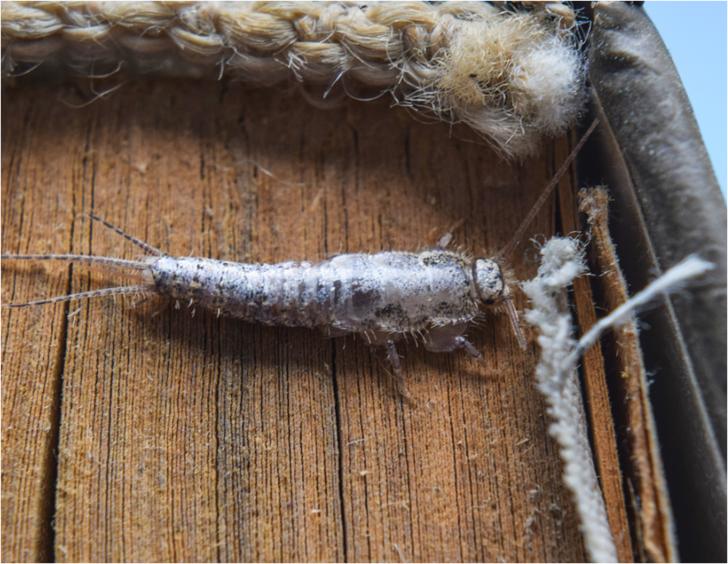 Evinizi işgal eden gümüşçün (gümüş) böceğinden kurtulmanın yolları