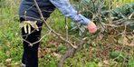 Türkiye'de tek aşırı gövdeli fındık bahçesinde budama yapıldı
