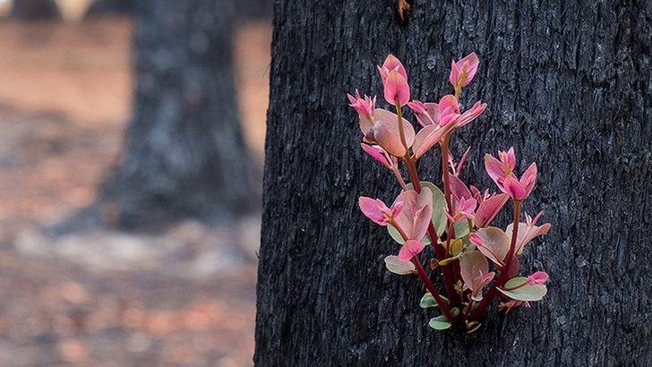 Kül olan yerlerde bazı bitkiler yeniden yeşeriyor!