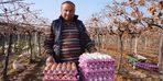 Üzüm üreticisi 'gezen tavuk' hayalini gerçekleştirdi