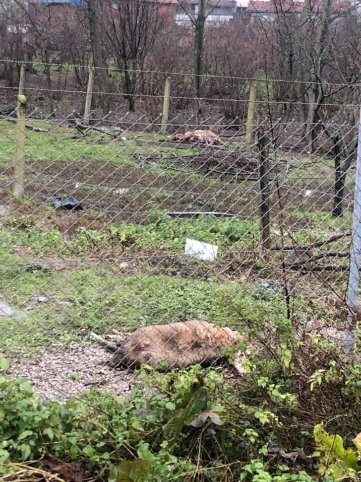 Aç kalan köpeklerin saldırdığı 3 koyun telef oldu