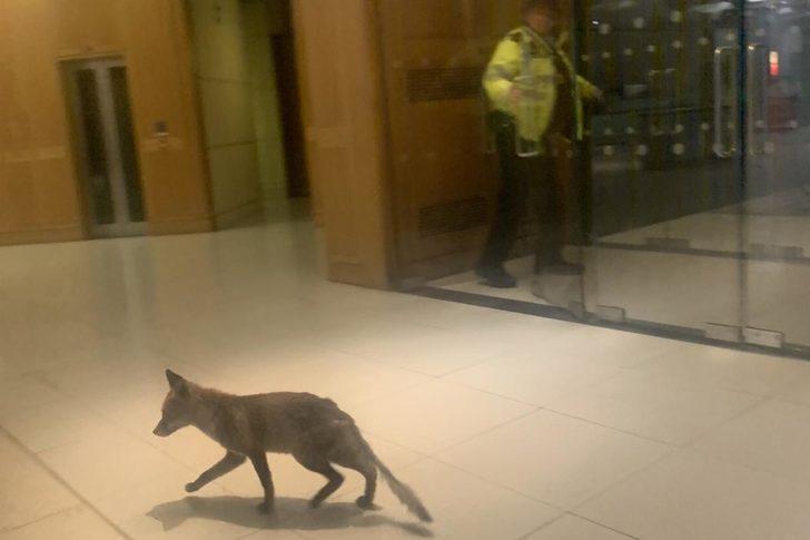 Parlamento binasında tilki alarmı!