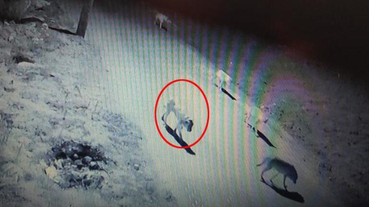 Şaşkına çeviren görüntü: Kurt sürüsü içinde bir köpek
