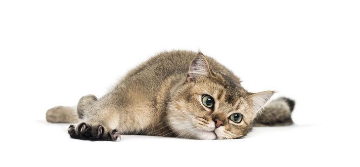 Kedi sahibi olmak, ruh sağlığına iyi geliyor
