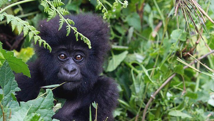Koronavirüs: Büyük insansı maymunları enfeksiyondan koruma çağrısı