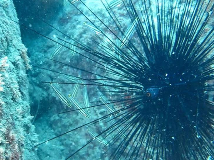 Ege ve Akdeniz'de 'zehirli deniz kestanesi' tehlikesi!