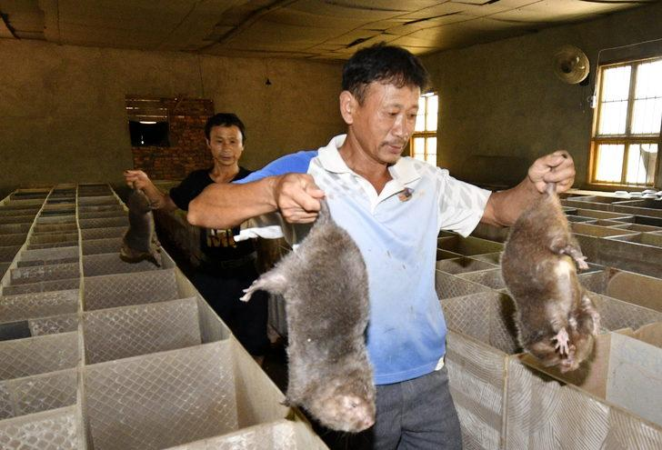 Çin hükümeti çiftçilere bambu fareleri üretmeleri için teşvik ödeneği verdi