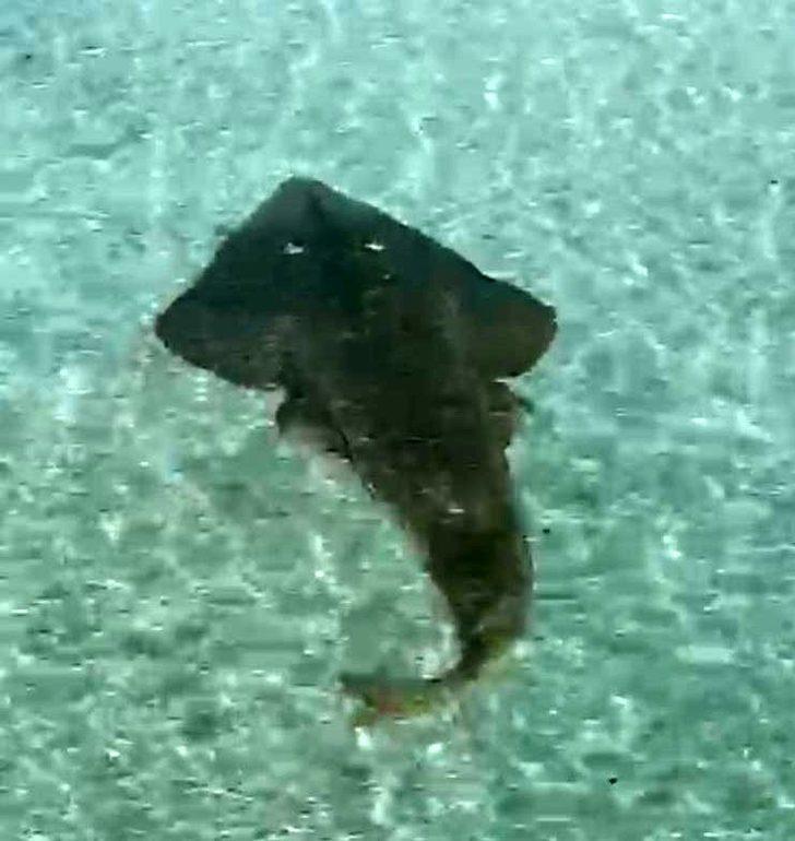 Çeşme'de görüntülendi! 2 metrelik kemane balığı