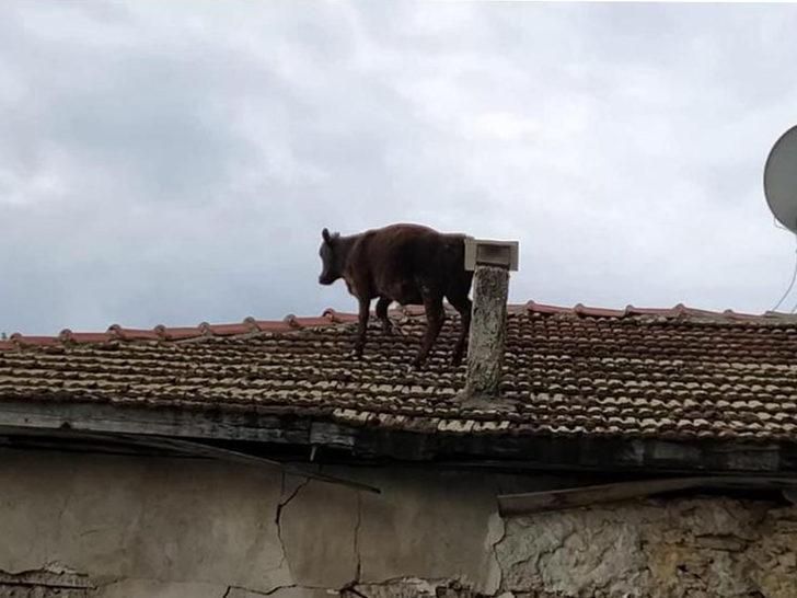 Ahırdan kaçan dana çatıya çıktı
