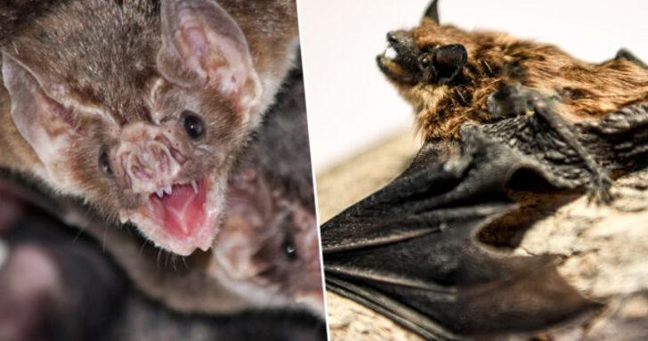 Vampir yarasalar hastalandıklarında sosyal mesafe uyguluyorlar