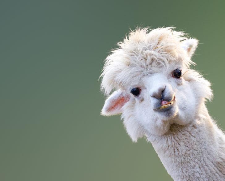 Lamalar koronavirüse umut oldu!