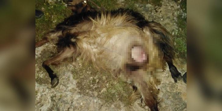 Sürüye saldıran kurtlar, 4 keçi ve 1 tayı telef etti