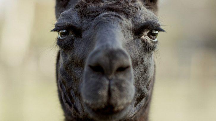 """Koronavirüs tedavisi: """"Kış"""" isimli 4 yaşındaki lama çare olabilir mi?"""