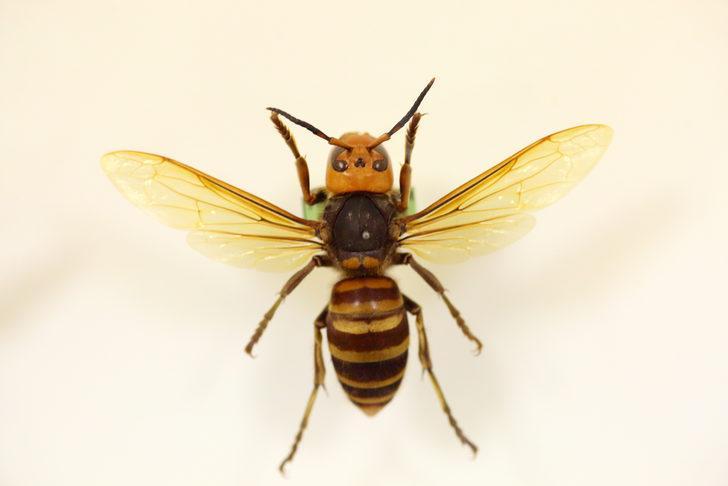 Asya dev eşek arısı İspanya'da bir can aldı