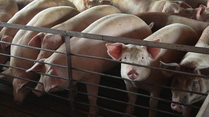 Çiftlik hayvanları ABD'de vurularak öldürülüyor!