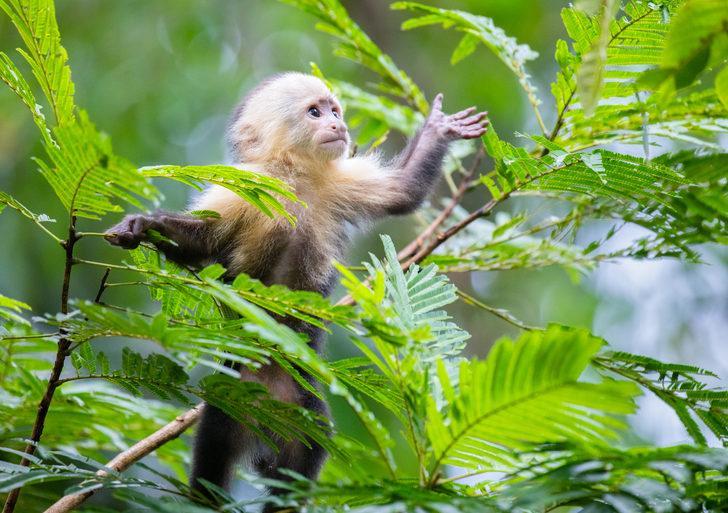 Korona aşısı maymunlar üzerinde sadece 2 ay koruma sağladı