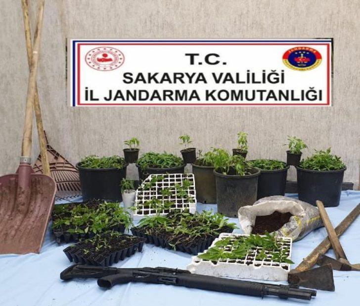 Fındık bahçesinde 510 kök Hint keneviri ele geçirildi