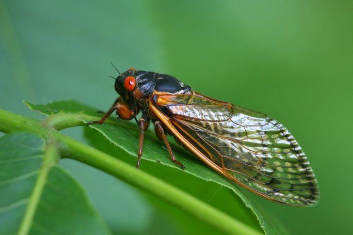 ABD'de korona ve dev eşek arılarının ardından yeni tehdit!
