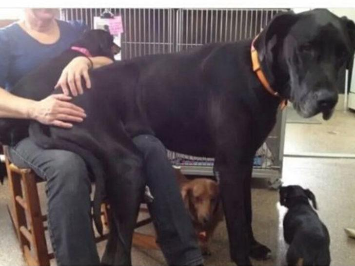 Sivas Kangalı geride kalır! İşte o dev köpekler!