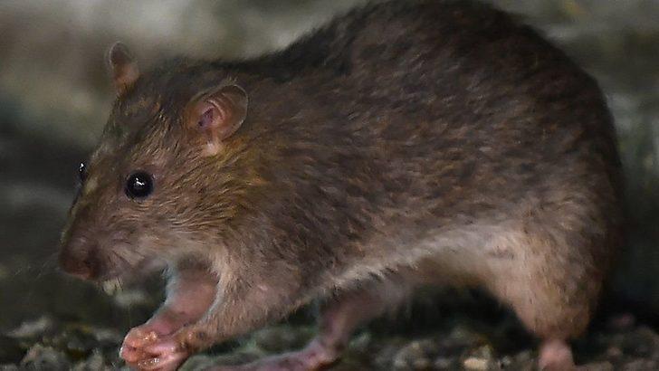 Salgında sıçanlar yavrularını yemeye başladı