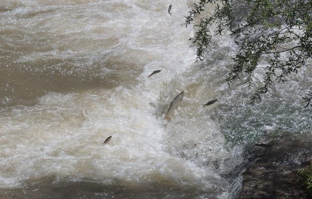 Kars'ta balıkların ölüm göçü başladı - Yaşam Haberleri