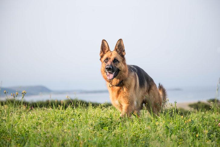 ABD'de bir ilk! Köpeğin korona testi pozitif çıktı