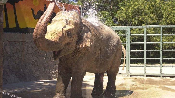 Hamile fil, içi havai fişek dolu anansı yedikten sonra hayatını kaybetti