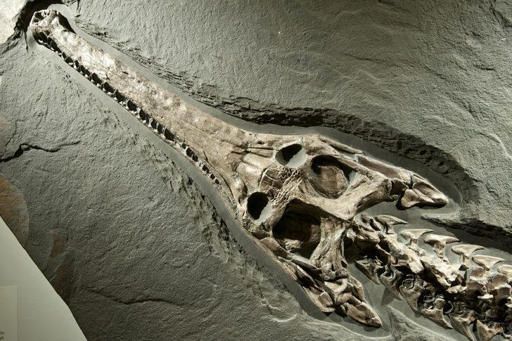 Milyonlarca yıl önce yaşamış! 2 ayağı üzerinde yürüyebilen timsah türü bulundu