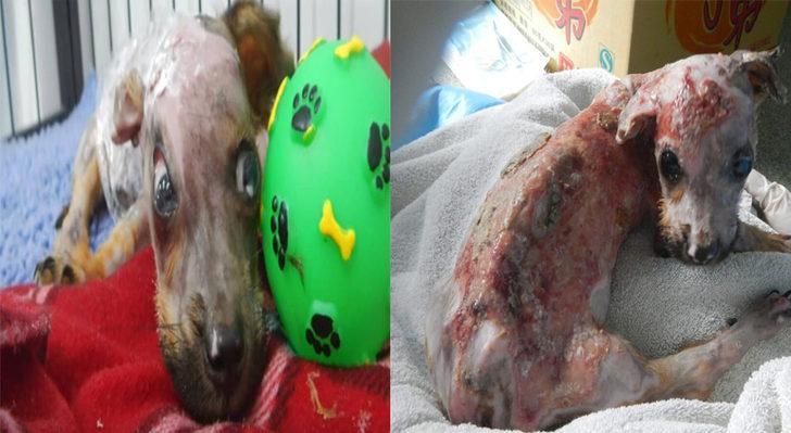 Sahibinin Telefonunu Parçaladığı İçin Kaynar Su İle Cezalandırılan Yavru Köpek