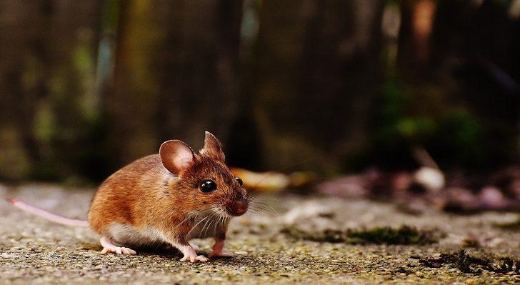 Rüyada fare görmek: Büyük fare, küçük fare, beyaz fare