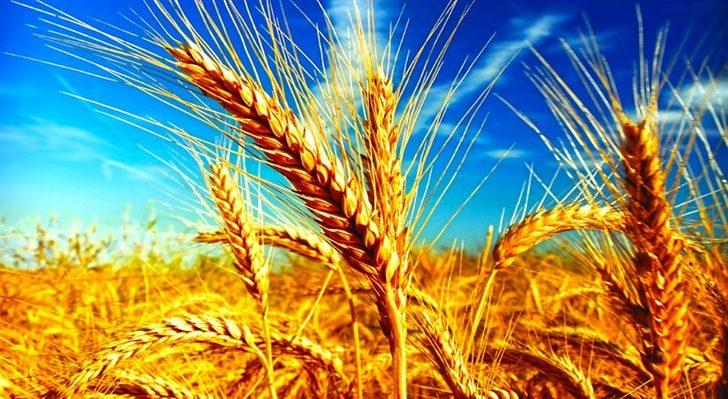 Rüyada Buğday Görmek: Buğday Yığını Görmek, Buğday Toplamak