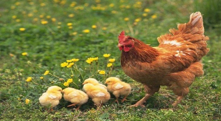Rüyada Tavuk Görmek: Tavuk Eti, Tavuk Yumurtası, Civciv Görmek