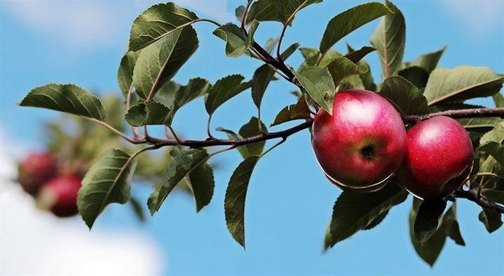 Elma zayıflatır mı? Zayıflama için elma nasıl tüketilmeli?