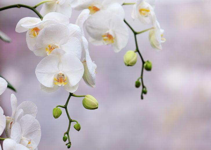 Orkide bakımı nasıl yapılır? Orkide budaması ve çoğaltılması