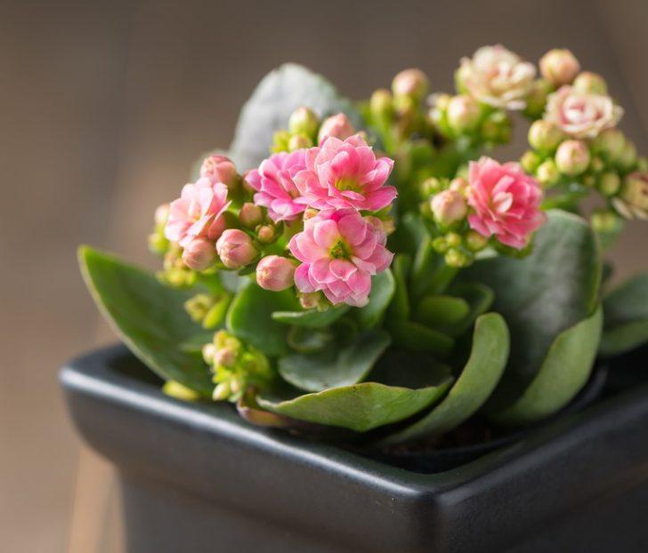 Evde kolayca yetiştirebileceğiniz çiçek önerileri