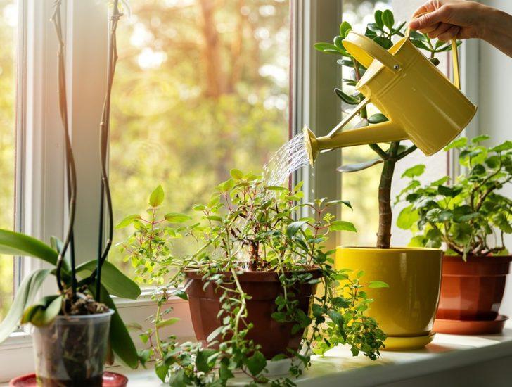 Salon çiçeklerinin bakımı nasıl yapılır, çoğaltılması ve canlanması nasıl sağlanır?
