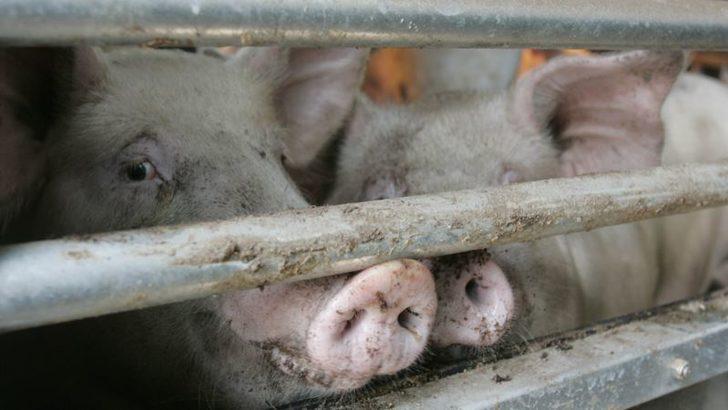 Çin'de Domuzlardan İnsanlara Geçen Yeni Virüs Tepit Edildi