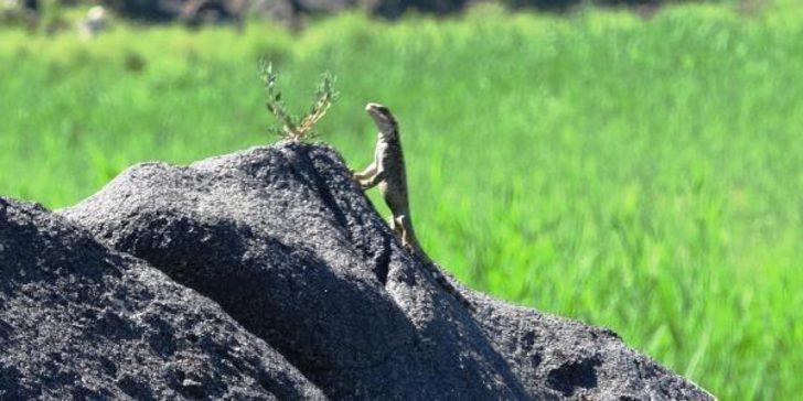 Nadir görülen türler arasında! Kafkas keleri Iğdır'da görüntülendi