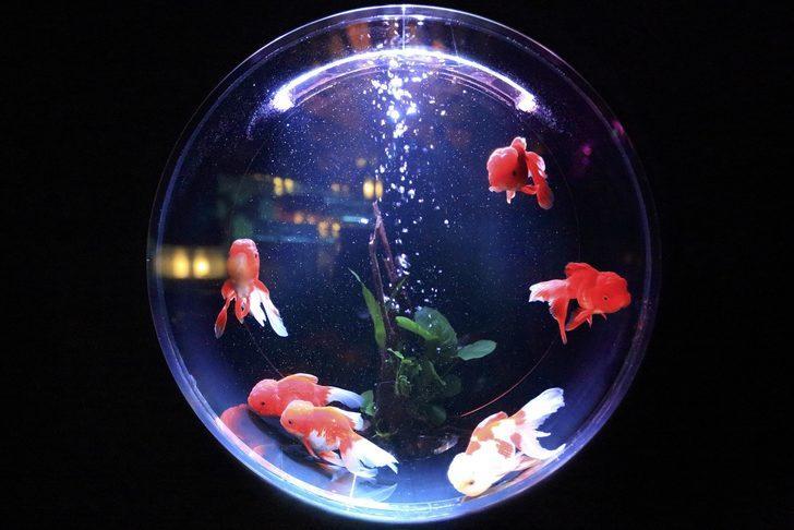 Akvaryum balıklarının isimleri ve özellikleri: Evcil balıkları tanıyalım