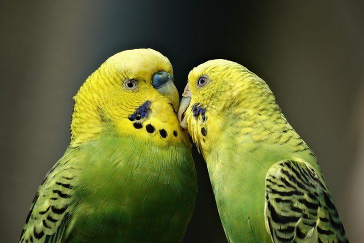 Muhabbet kuşu isimleri: Sarı, mavi, beyaz renkte dişi ve erkek kuş isimleri