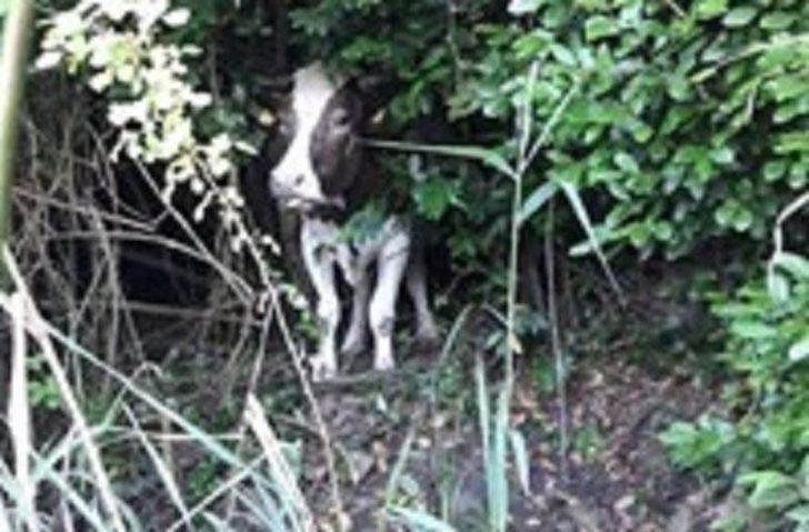 Bataklıkta mahsur kalan inek AFAD tarafından kurtarıldı